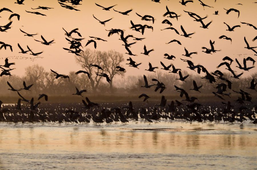 The Sandhill Crane Migration takes place every year between March and April.