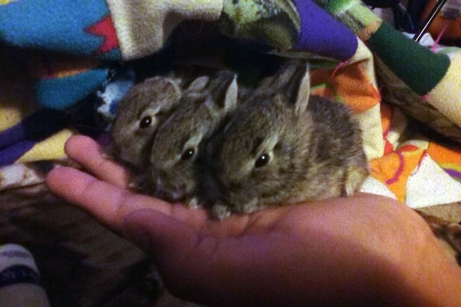 Junior Joseph Factor rescues baby bunnies