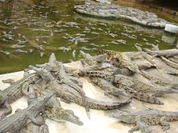 Crocodiles experience inhumane treatment